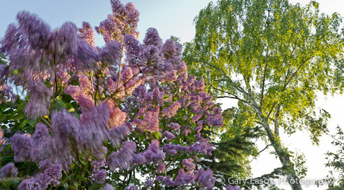 Evening lilac _GE03007_Tumblr