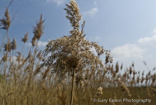 Reeds, West Mersea _GE02952_Tumblr
